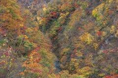 Leaves turning color in autumn in Naruko Gorge - Osaki, Miyagi, Japan royalty free stock photo