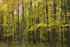 Leaves Turning Colors Season goes into Autumn. Forest comes alive with yellow leaves as they begin to turn in the autumn. Photo taken in Upper Michigan stock images