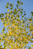 Leaves Turning Yellow Royalty Free Stock Photography