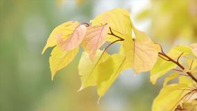 Leaves on a twig. Some of the leaves jagged edges. Close up. On the leaves of the tree are dry region, yellow autumn leaves are on the thin branches of the tree stock video