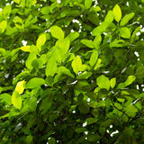 Leaves. Twigs green yellow  beautiful suitable for a background Royalty Free Stock Photo