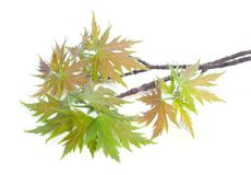 Leaves and twigs of a maple Stock Photos