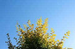 Leaves under blue sky. The tree leaves under blue sky Royalty Free Stock Images