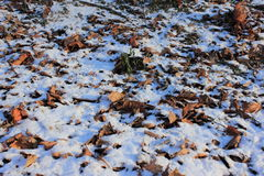 Leaves under snow Stock Photo