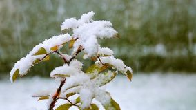 Leaves under white snow. Frosty Leaves under white snow.Snowfall in the garden stock footage