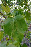 Leaves and unripe fruits of a fig tree Stock Photography