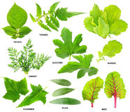Leaves of  vegetable plants Stock Photos
