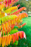 Leaves of velvet tree in fall colors Stock Photos