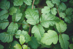 Leaves. Vibrant green broad leaf plant Royalty Free Stock Photography