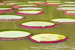 Leaves of Victoria amazonica Stock Photos