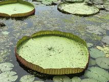 Leaves of Victoria water lily. Royalty Free Stock Photos