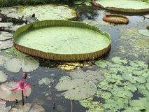 Leaves of Victoria water lily. Stock Image
