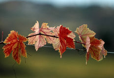 Leaves of vine Stock Photography