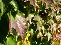 Leaves of vine Royalty Free Stock Image