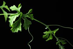 Leaves Vine with drop, Dark background, Isolated Royalty Free Stock Photo