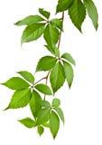 Leaves of vine Stock Photos