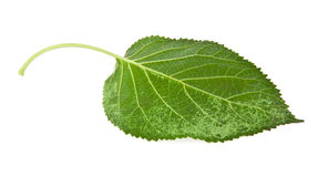 Leaves of vine Royalty Free Stock Images