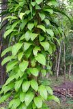 Leaves vine On the tree. Wild vine leaves on tree trunk Stock Photo