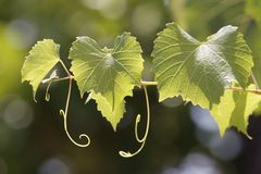 Leaves of a vine in a vineyard Royalty Free Stock Photos