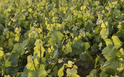 Leaves of Vine Sunset. Leaves of vine in a vineyard in the Champagne area near Epernay during sunset, France Royalty Free Stock Image