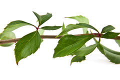 Leaves of vine Royalty Free Stock Photography