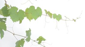 Leaves and vines of grape Stock Photography