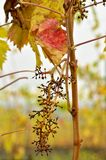 Leaves of the vineyard Royalty Free Stock Image