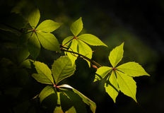 Leaves of virginia creeper Royalty Free Stock Images