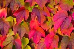 Leaves of Virginia creeper Stock Photos
