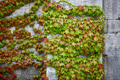 Leaves on the wall Royalty Free Stock Photo