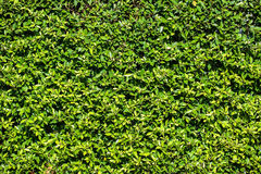 Leaves wall background Stock Photography