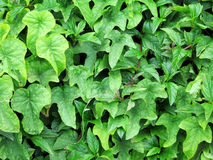Leaves wall background Royalty Free Stock Photos