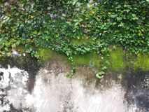 Leaves on wall Royalty Free Stock Image