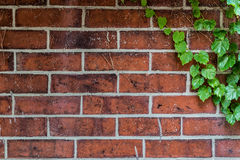 Leaves on the Wall. A exceptional brick wall with leaves Stock Images