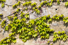 Leaves on the wall Royalty Free Stock Images