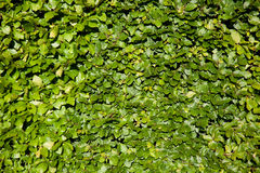Leaves wall texture in the park Royalty Free Stock Images