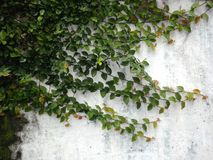 Leaves on wall Stock Images