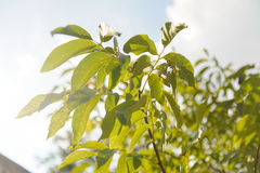 Leaves of Walnut Tree Stock Images