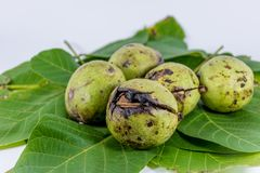 Leaves of walnuts with walnuts Stock Images