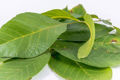 Leaves of walnuts Royalty Free Stock Photography