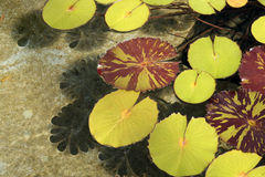 Leaves on water Royalty Free Stock Photography