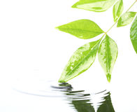 Leaves in water. Green leaves in rippling water Royalty Free Stock Image
