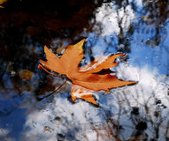 Leaves on water. Autumn leaves on water in late october royalty free stock images