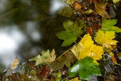 The leaves in the water. Autumn leaves in a small stream stock image