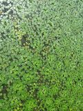 Leaves in the water. Carska Bara is located 17 kilometers south of the town of Zrenjanin, in the west-central part of the Serbian section of Banat, near the Royalty Free Stock Photography