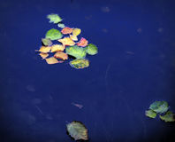 Leaves in the water Royalty Free Stock Photography