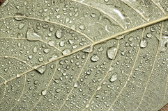 Leaves with water droplets. Leaves with water droplets, close up Stock Photography