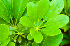 Leaves and water drops. Royalty Free Stock Photo