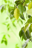 Leaves with water drops Royalty Free Stock Image