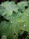 leaves with water drops Royalty Free Stock Images